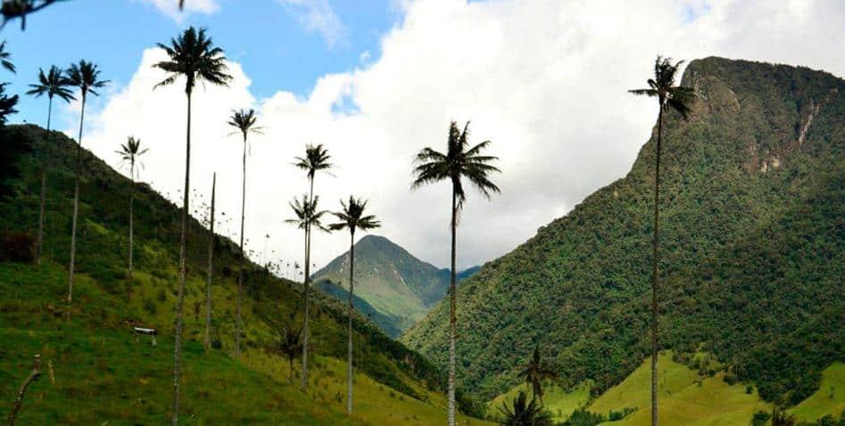 Le palmier à cire, symbole de la Colombie