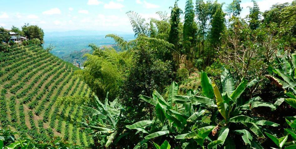 Une plantation de café, joli hein?